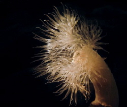 Plumose anemone by Philippe Velghe 